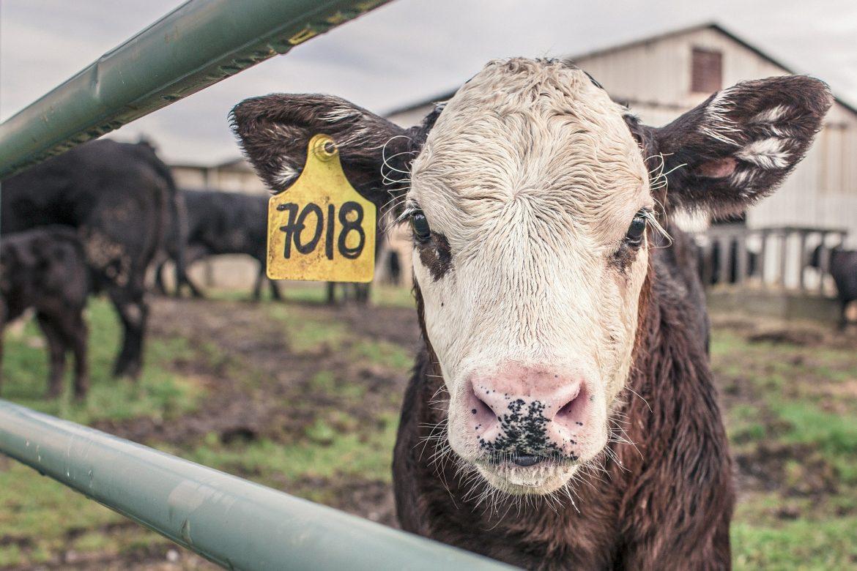 Cisti Follicolare bovina da latte